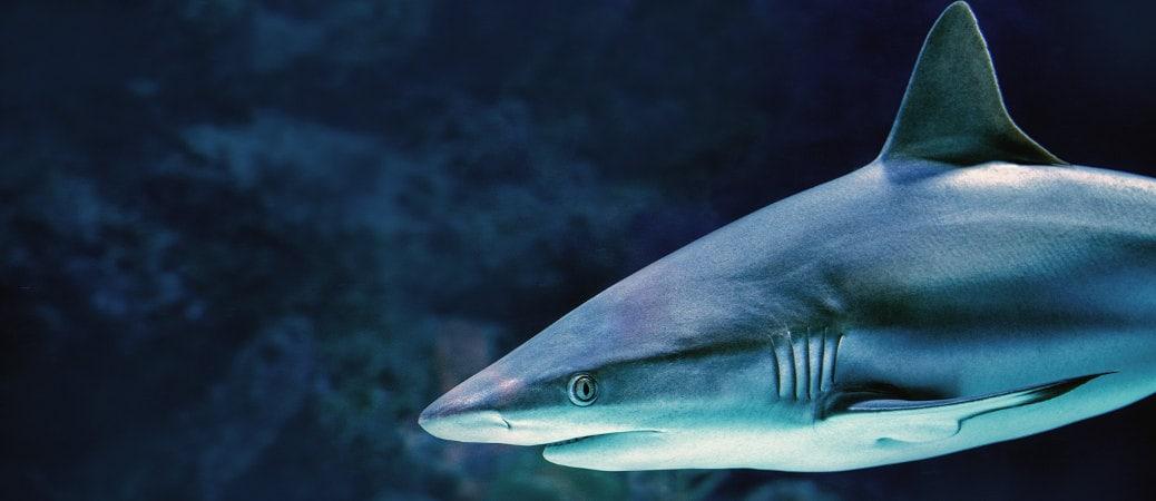squalo pinna mare
