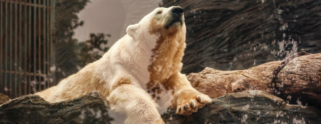 orso polare zoo