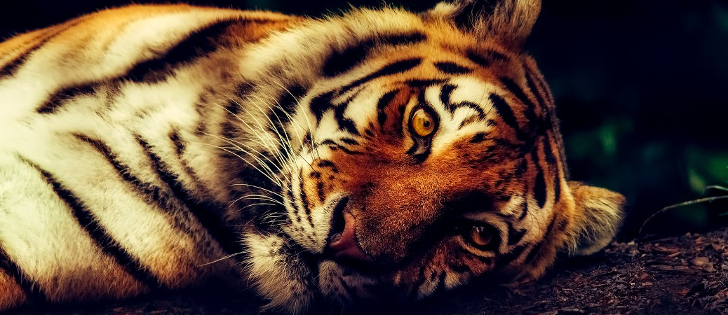 tigre estinta