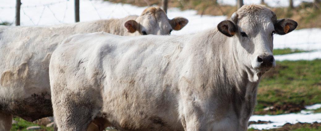 marchigiana san giorgio la molara bovino vitellone bianco dell'appennino centro meridionale