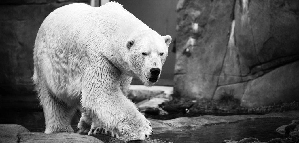 orso polare riscaldamento globale