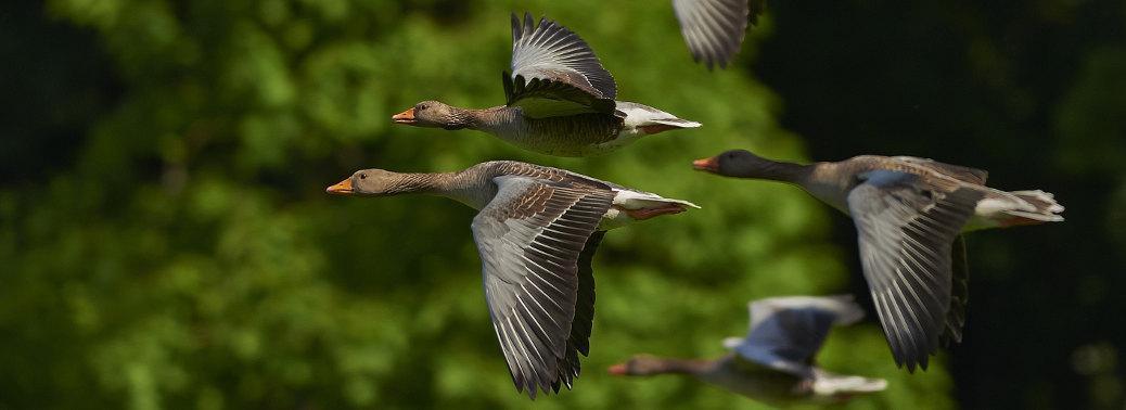 tracking satellitare animali uccelli oche migrazioni